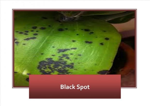 Black Spot 1