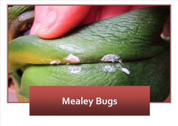 Mealey Bugs