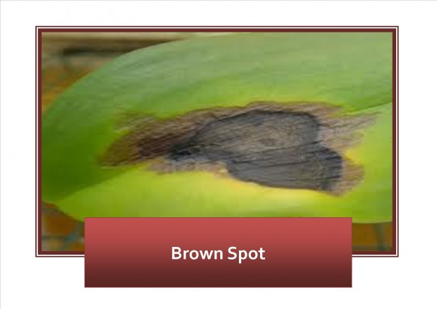 brown spot on Orchids
