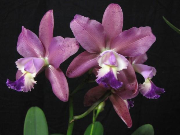 C. Brabantiae