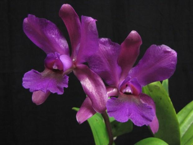 C. elongata