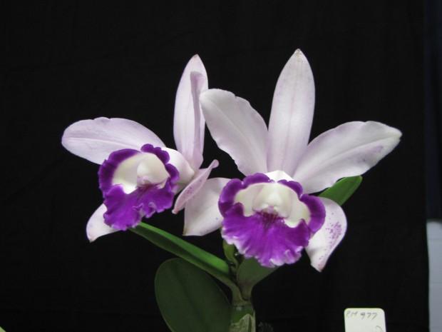 C. intermedia var. orlata